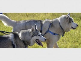 FURRY FRIENDS: Husky Rescue South Africa are hosting a fundraising walk to help the many husky dogs the organisation cares for.