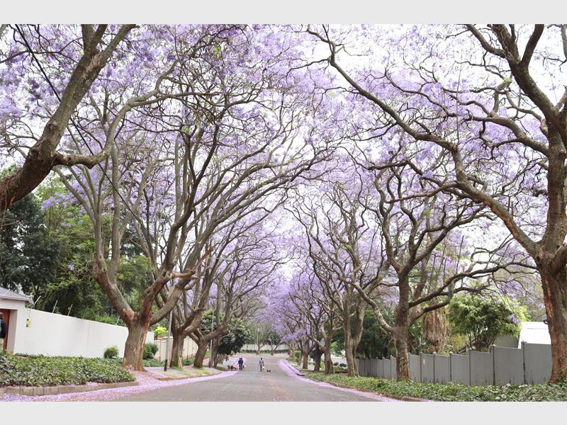 Confusion over jacarandas - Rosebank Killarney Gazette