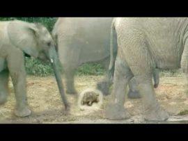 World's Luckiest Tortoise Survives Elephant Stampede