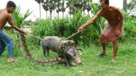 Real Anaconda Attack On Pig