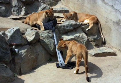 40bcb048670f81 Japan zoo makes wild fashion statement with lion-ripped jeans