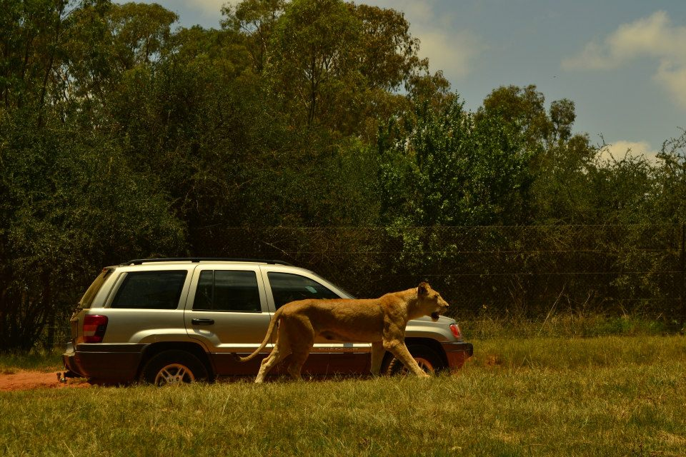 VIDEO: Lion sighting almost takes a turn for the worse