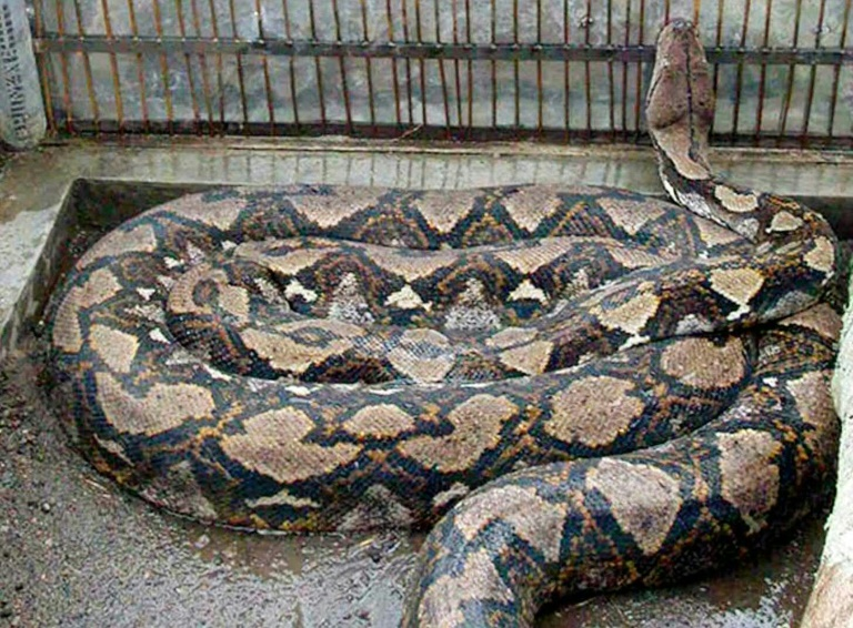 Indonesian man found dead inside giant python   AFP   Roodepoort Record