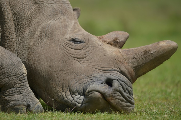 Rhino poaching is rife in southern Africa | © AFP/File | Tony KARUMBA