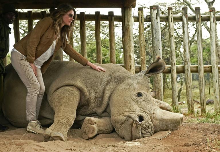 British actress Liz Hurley poses next to Sudan, the last male northern  white rhino,