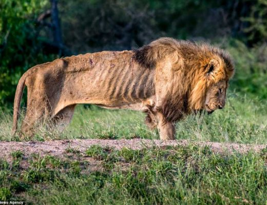 Moving pics of Kruger male lion's last moments captured by US photographer