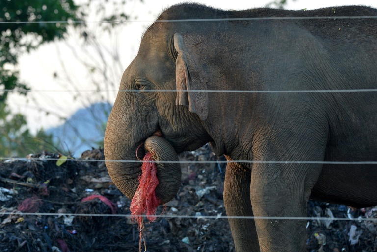Hundreds of Sri Lanka's wild elephants now scavage at rubbish dumps, risking their health due to plastic scraps mixed with rotting food | © AFP/File | LAKRUWAN WANNIARACHCHI
