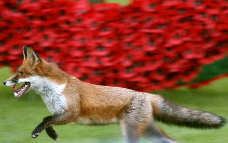 Cat and fox game: Police searching for the suspect behind the grisly deaths of hundreds of cats in south London have revealed that foxes are the most likely culprits | © POOL/AFP/File | KIRSTY WIGGLESWORTH