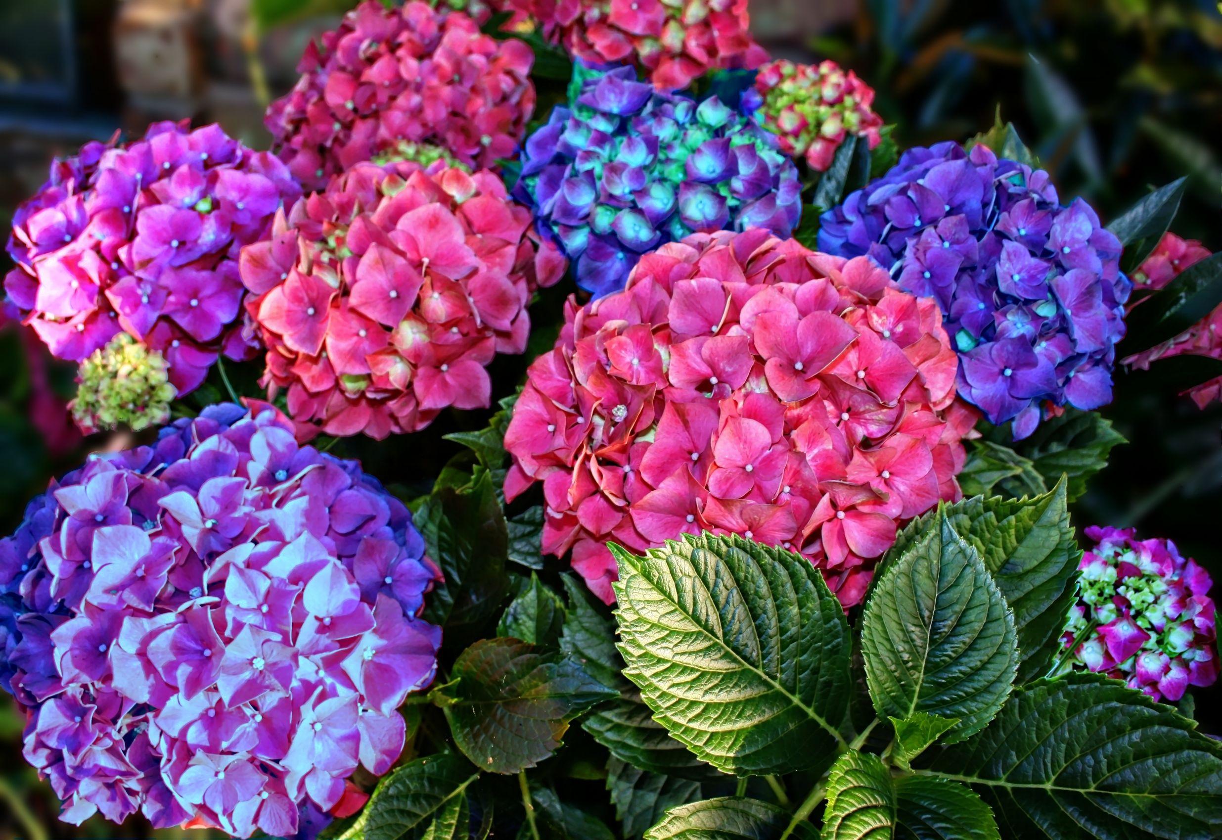 All4Women | How to grow hydrangeas (AKA Christmas roses