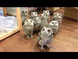 A Funny Owls Compilation