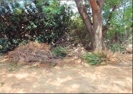 Die tuinvullis op die sypaadjie, of is dit 'n grondbedekking?