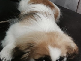 Fifi, die nege maande oue pekinees, was 'n vertroetelde hondjie wat net liefde geken het.