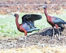 The glossy ibis/glansibis (Plegadis farcinellus).Photo: Jan Fourie.