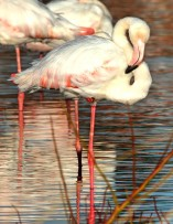 The Greater Flamingo. Foto: Jan Fourie