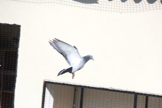 Johan Schlebusch se duiwe is in top vorm vanjaar.