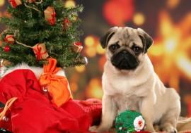 christmas-pug-dog-wallpaper