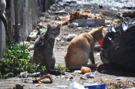 Straatkatte leef van die vullis wat daagliks in Kingsstraat gestort word. Foto: Marianke Saayman
