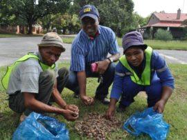 Thomas Muswede (middel) van die parkeafdeling en twee van die werklose mense wat help akkers optel. Foto: Marianke Saayman