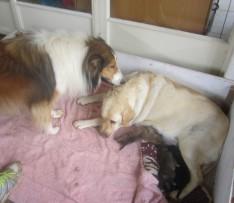 Die Labradortefie se drie kleintjies drink lekker terwyl die Collie-hond beskermend toekyk.