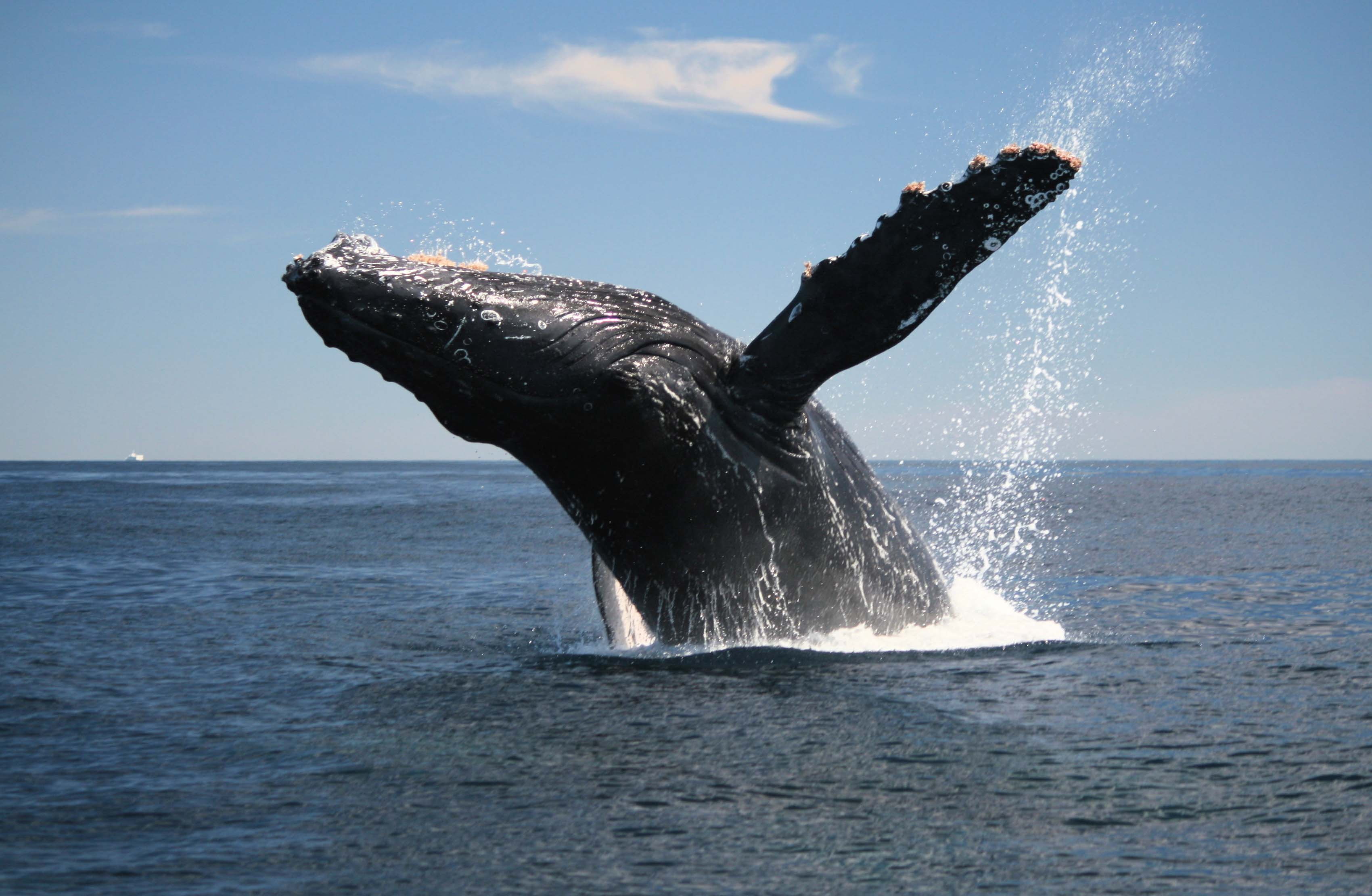 the main features of the hump back whale Compared to other cetaceans, humpback whales (megaptera novaeangliae)  have disproportionately large flippers with added structural features to aid in.