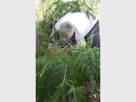 Mandy Cattanach removes dagga plants.