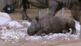 Baby rhino discovers snow