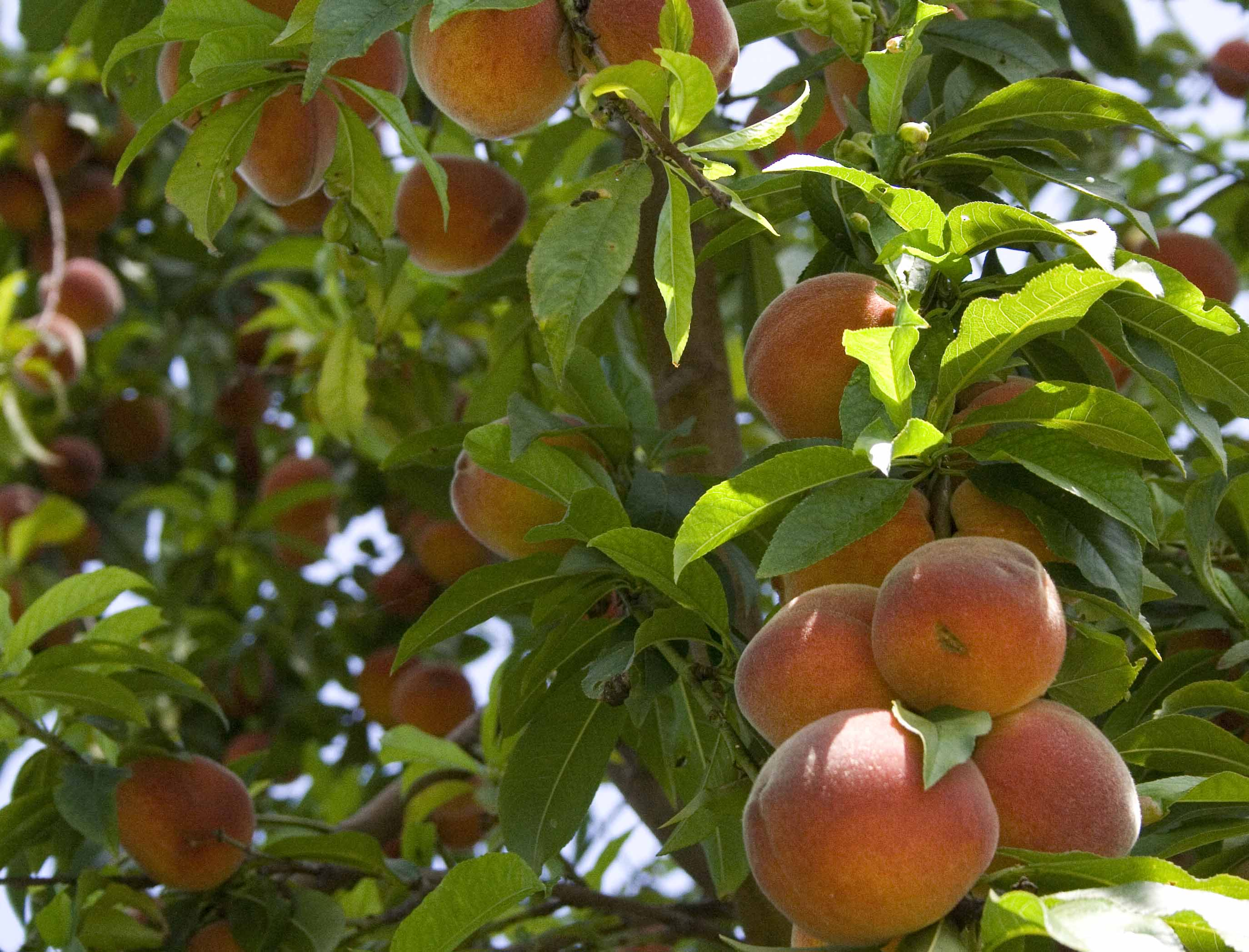 Every Garden Deserves A Peach Tree
