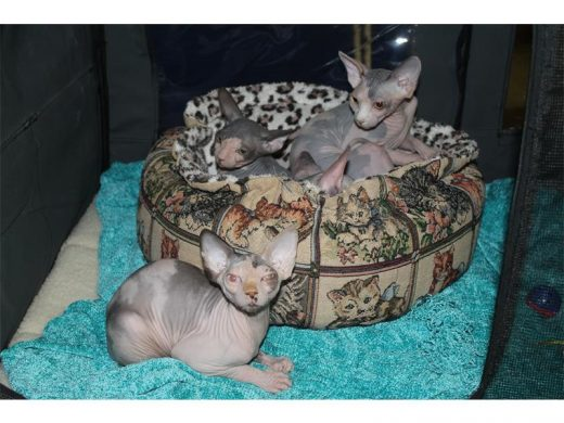 Edenvale to host Breeders of Rex and Sphynx cat show | Bedfordview