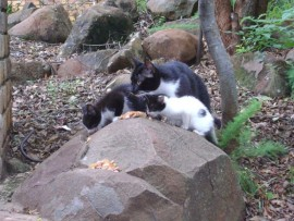 Feral cats being fed by National Cat Action Taskforce