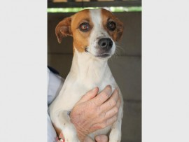 I am an 18-month-old female Jack Russell with a long tail. I've got a cute personality, am playful and love cuddles. I also am a real lady.