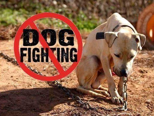 Dog fighting is a crime   Boksburg Advertiser