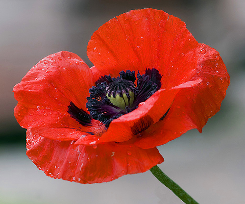 Nationstates View Topic Why Are British Poppies So Different