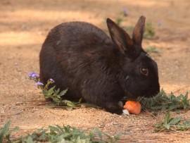 A bunny feeds on a carrot.