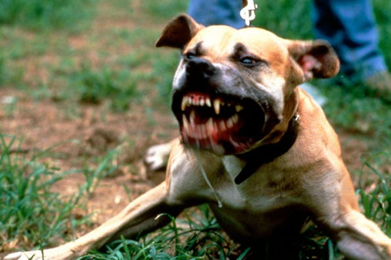 Dog fighting syndicate busted   Brakpan Herald