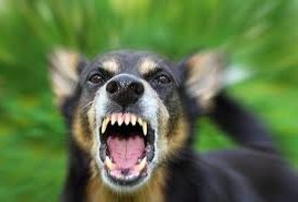 spca rabies vaccine hondsdolheid inent