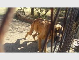 Die boerboel, foto is geneem toe die hond gevind is, ter sprake in die brief.