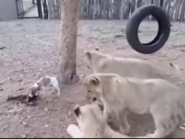 jack russel vs lion cubs