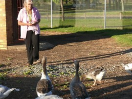 The geese at the George Sutter Park duck pond receive their daily bread and lettuce from Kathy Preston, who feeds them twice a day.