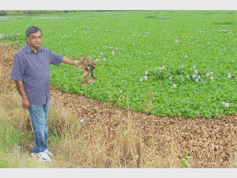 Ward councillor Ramesh Sheodin holds a dead hyacinth in his hand and says it is an unhealthy situation for the fish in the dam.