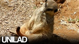 This Meerkat Is All Of Us Today
