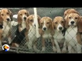 Dogs tested on in labs get a second chance