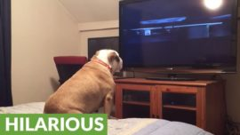 See what this bulldog does while watching a horror movie