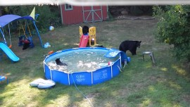 A Family Of Bears Was Caught Having A Pool Party