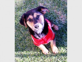 Cross-Rottweiler Bolt is only three months old. The lovable, playful and affectionate boy was unwanted by his owner. He is waiting in Kennel 6 for a loving person to adopt him.