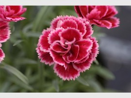 Dianthus will thrive in heat and when the rains come they don't mind either.