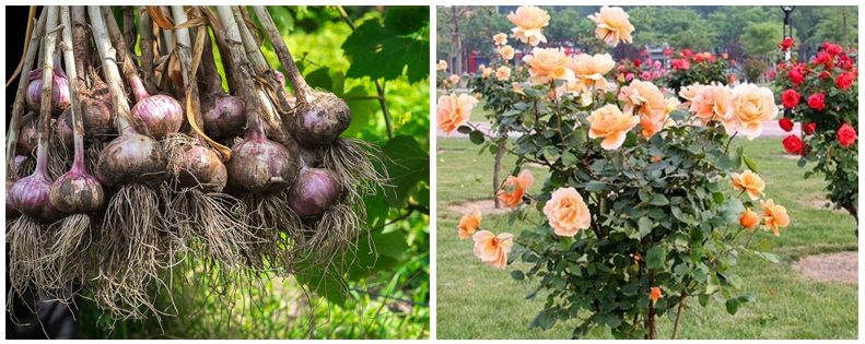 Garlic Roses