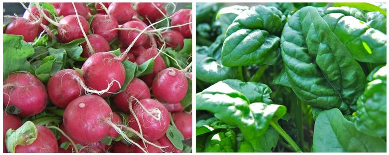 radish spinach