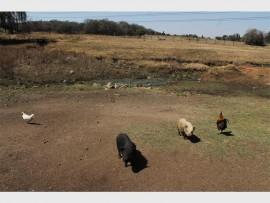 WIE KYK NA HULLE: Die diere drink vanuit 'n spruit wat soos riool lyk by die Alberton Dam.