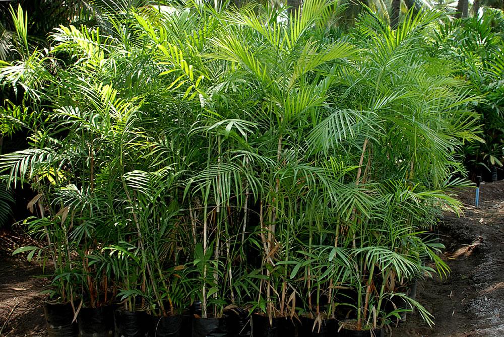 Chamaedorea-seifrizii-2