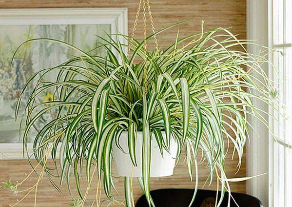 Spider-Plant (1)